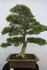 Bonsai Azalée du Japon, Azalea SatsukiSaiko, no. 5698