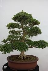 Bonsai Azalée du Japon, Azalee Azalea Satsuki Saiko, no. 5204