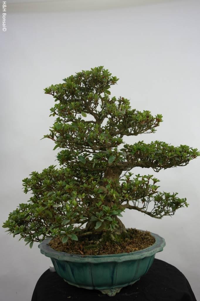 Bonsai Azalée du Japon, Azalea Satsuki, no. 5251