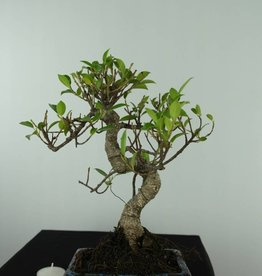 Bonsai Figuier tropical, Ficus retusa, no. 6538
