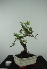 Bonsai Arbre à thé, Carmona macrophylla, no. 6560