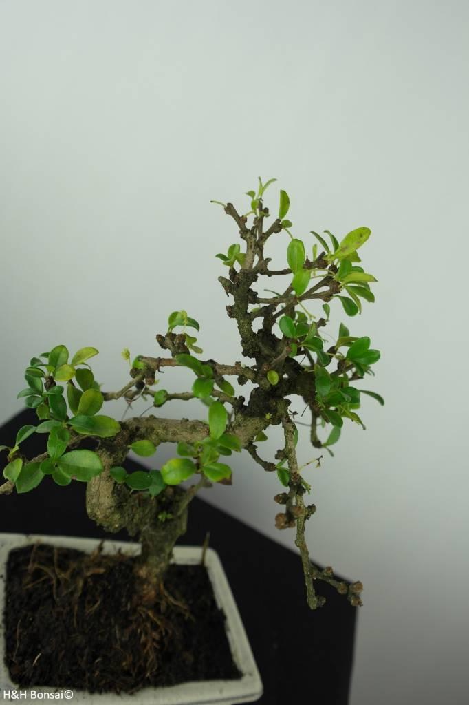 Bonsai Carmona macrophylla, nr. 6560