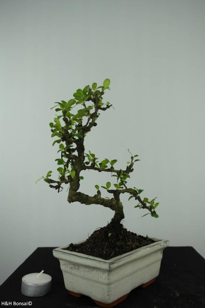 Bonsai Arbre à thé, Carmona macrophylla, no. 6561