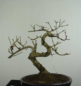 Bonsai Fraxinus sp., Es, nr. 6701
