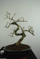 Bonsai Frêne, Fraxinus sp., no. 6701