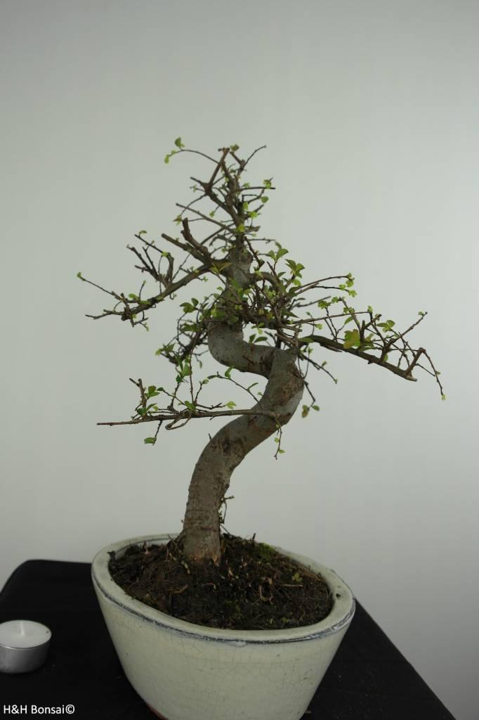 Bonsai Orme de chine, Ulmus, no. 6708
