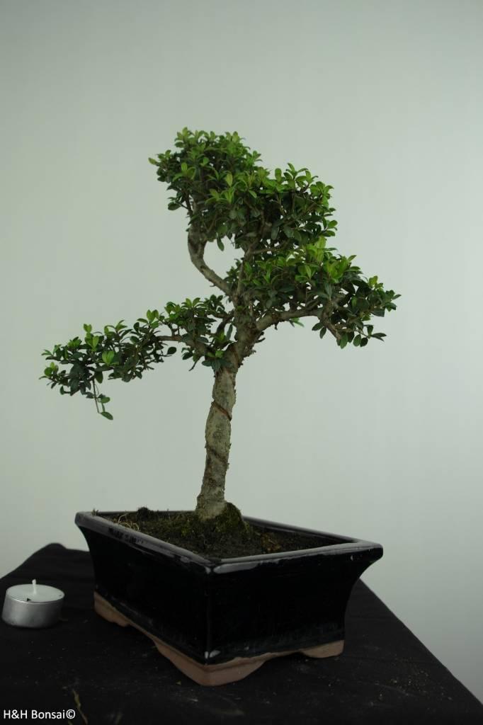 Bonsai Houx japonais, Ilexcrenata, no. 6713