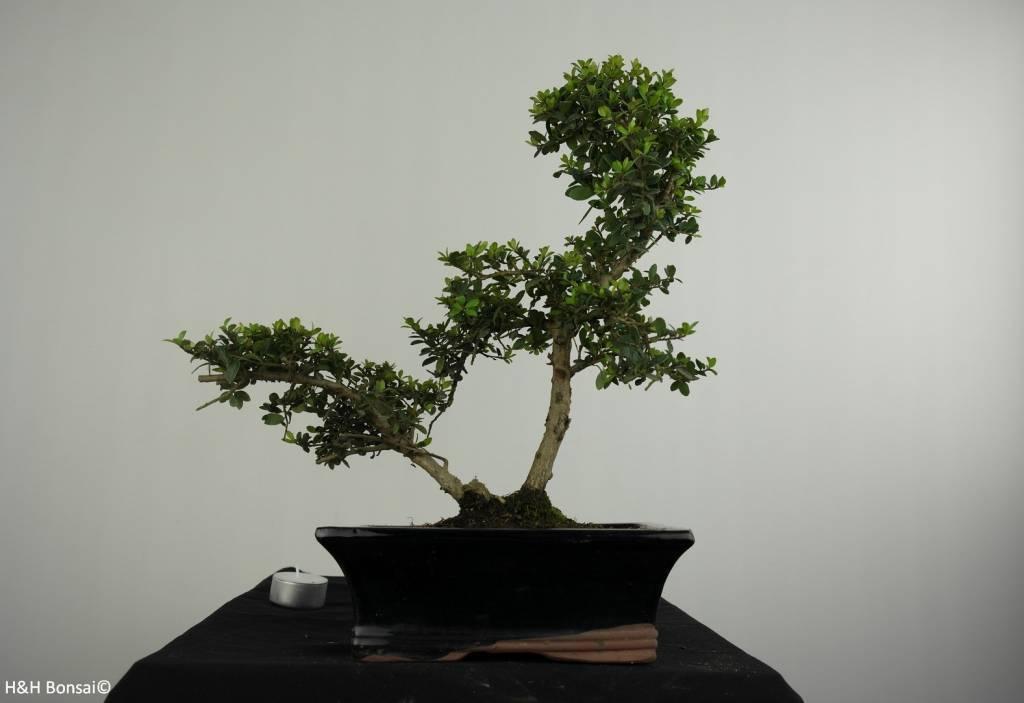 Bonsai Houx japonais, Ilexcrenata, no. 6716