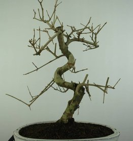 Bonsai Fraxinus sp., Es, nr. 6731