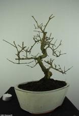 Bonsai Frêne, Fraxinus sp., no. 6732