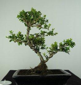 Bonsai Houx japonais, Ilex crenata, no. 6747