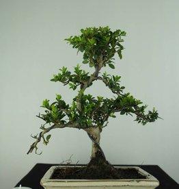 Bonsai Ilex crenata, Japanse hulst, nr. 6751