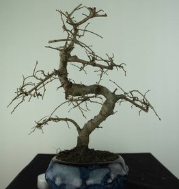 Bonsai Ulmus, Chinese Iep, nr. 6764