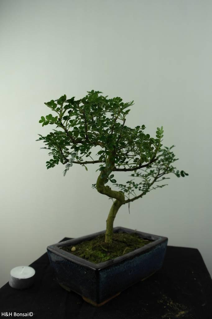 Bonsai Faux poivrier,Zanthoxylum piperitum, no. 6841