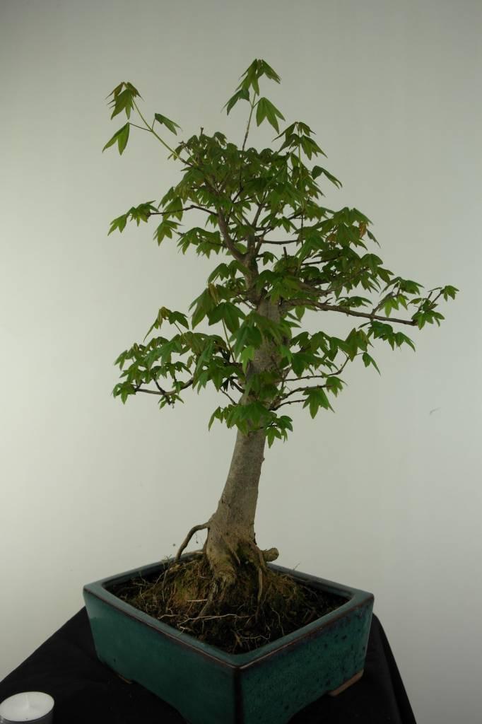 Bonsai Acer buergerianum, Drietand Esdoorn, nr. 6909