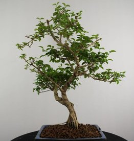 Bonsai Troène, Ligustrum sinense, no. 6986