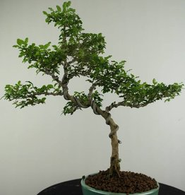 Bonsai Troène, Ligustrum sinense, no. 6988
