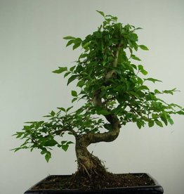 Bonsai Troène, Ligustrum nitida, no. 6991