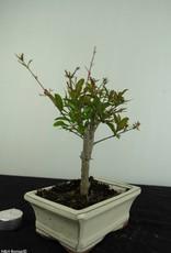 Bonsai Punica granatum, Granaatappel, nr. 6925