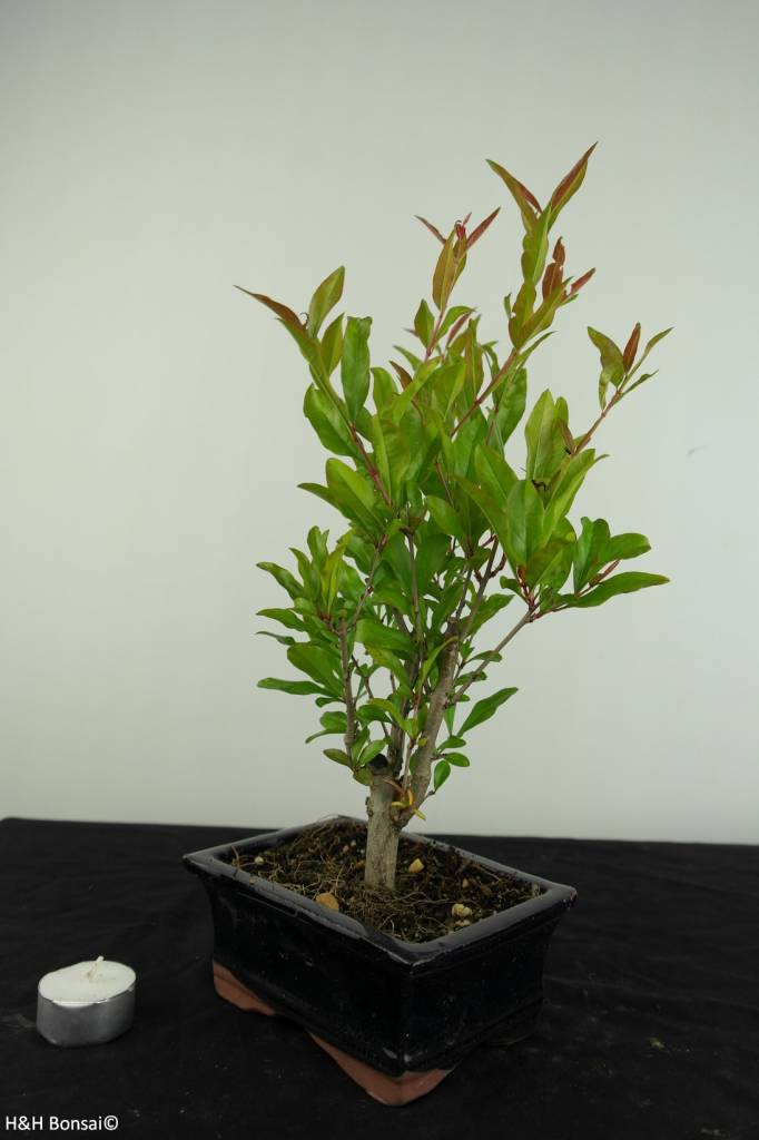 Bonsai Grenadier, Punica granatum, no. 6926