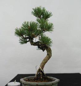 Bonsai Shohin Pinus pentaphylla, Japanse witte den, nr. 7054