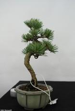 Bonsai Shohin Pin blanc du Japon,Pinus pentaphylla, no. 7054
