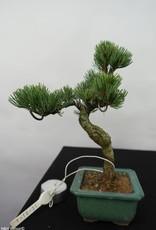 Bonsai Shohin Pinus pentaphylla, Japanse witte den, nr. 7055