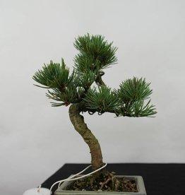 Bonsai Shohin Pinus pentaphylla, Japanse witte den, nr. 7056