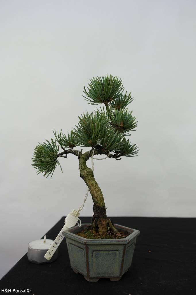 Bonsai Shohin Pin blanc du Japon,Pinus pentaphylla, no. 7057