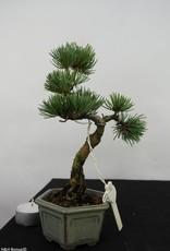 Bonsai Shohin Pinus pentaphylla, Japanse witte den, nr. 7057