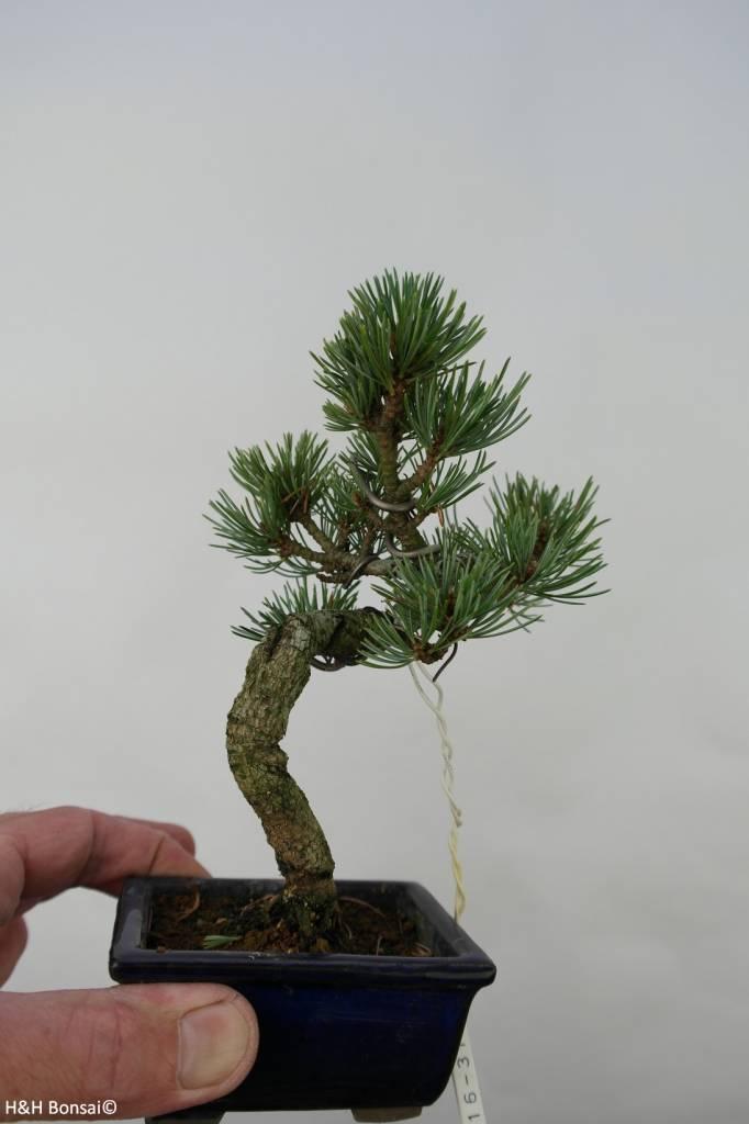Bonsai Shohin Pinus pentaphylla, Japanse witte den, nr. 7058