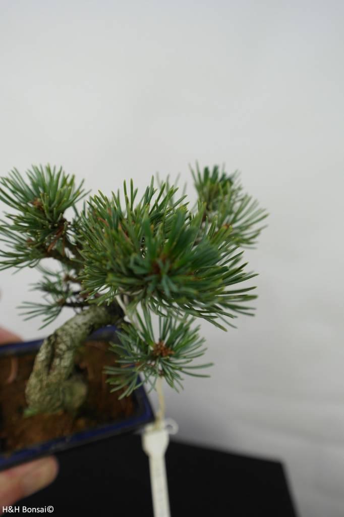 Bonsai Shohin Pin blanc du Japon,Pinus pentaphylla, no. 7058