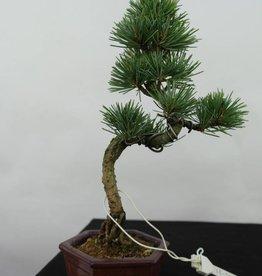 Bonsai Shohin Pinus pentaphylla, Japanse witte den, nr. 7059