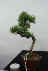 Bonsai Shohin Pin blanc du Japon,Pinus pentaphylla, no. 7059