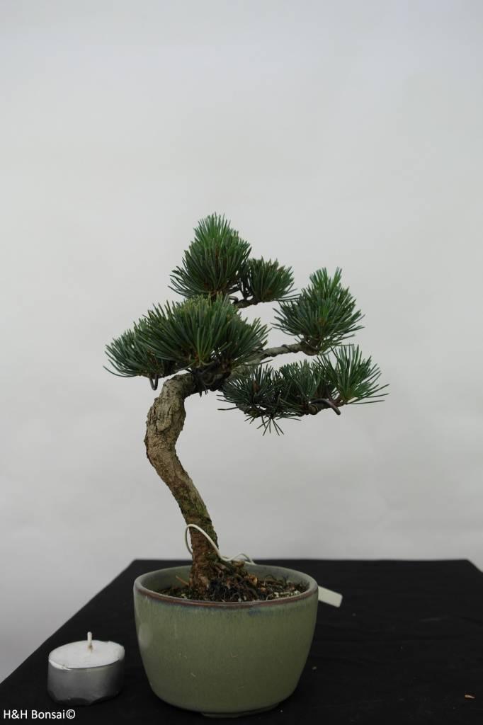 Bonsai Pinus pentaphylla, Japanse witte den, nr. 7060
