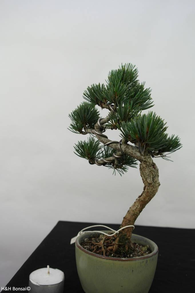 Bonsai Pin blanc du Japon, Pinus pentaphylla, no. 7060