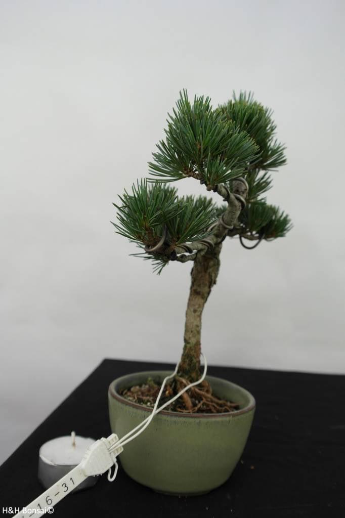 Bonsai Pin blanc du Japon,Pinus pentaphylla, no. 7060