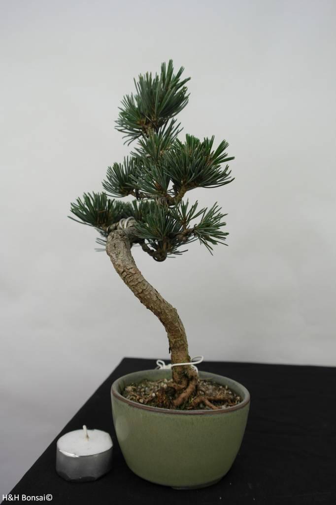 Bonsai Pinus pentaphylla, Japanse witte den, nr. 7061