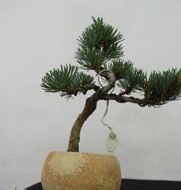 Bonsai Shohin Pin blanc du Japon,Pinus pentaphylla, no. 7062