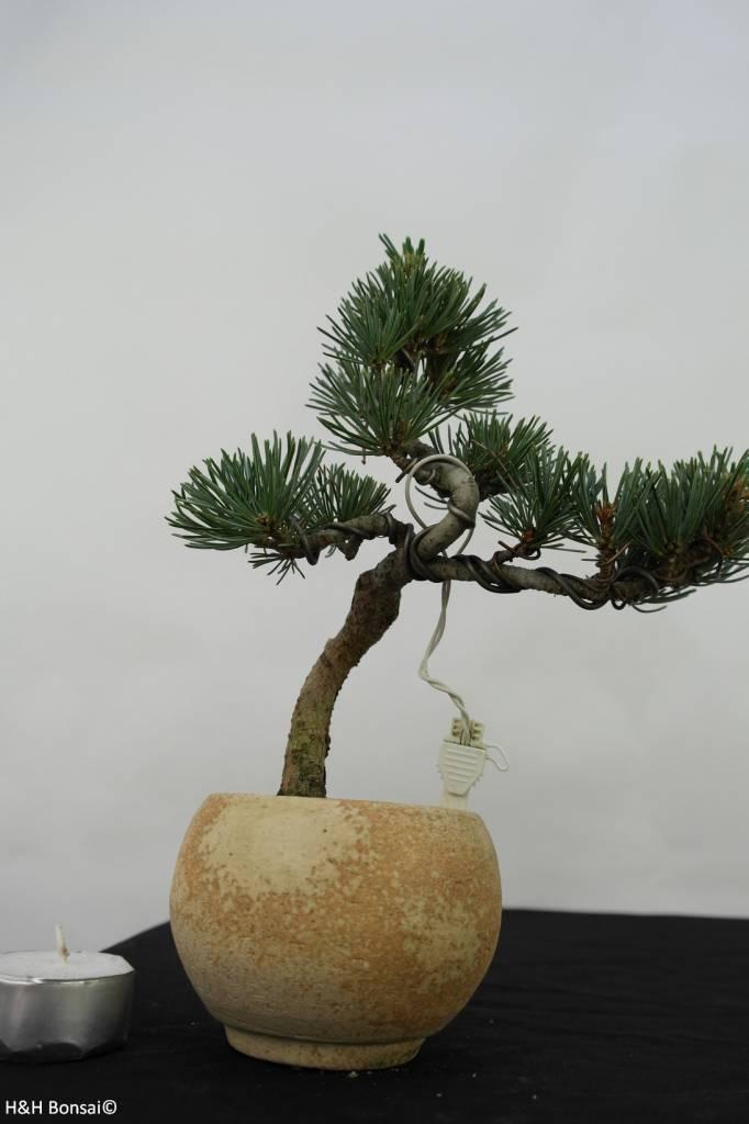 Bonsai Shohin Pinus pentaphylla, Japanse witte den, nr. 7062