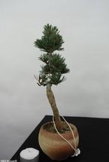 Bonsai Pin blanc du Japon,Pinus pentaphylla, no. 7063