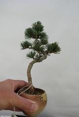 Bonsai Pinus pentaphylla, Japanse witte den, nr. 7063