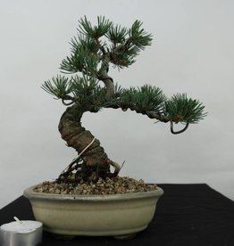 Bonsai Shohin Pinus pentaphylla, Japanse witte den, nr. 7064