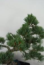 Bonsai Pin blanc du Japon,Pinus pentaphylla, no. 7065