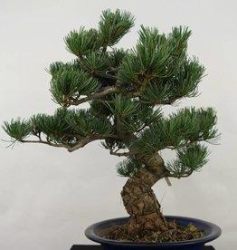 Bonsai Pinus pentaphylla, Japanse witte den, nr. 7067