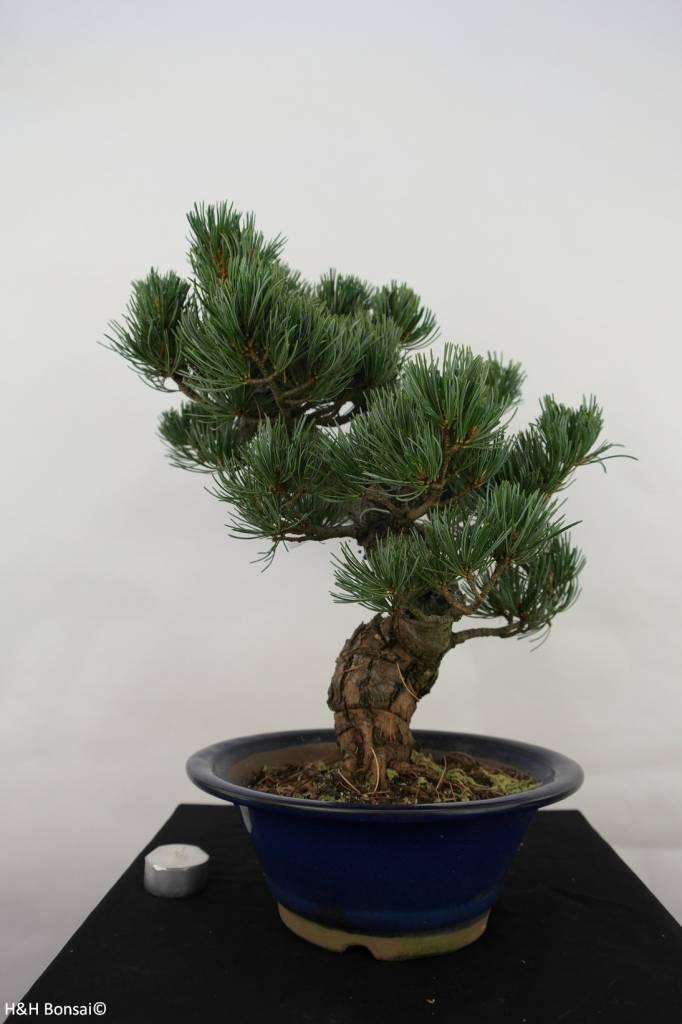 Bonsai Pin blanc du Japon,Pinus pentaphylla, no. 7067