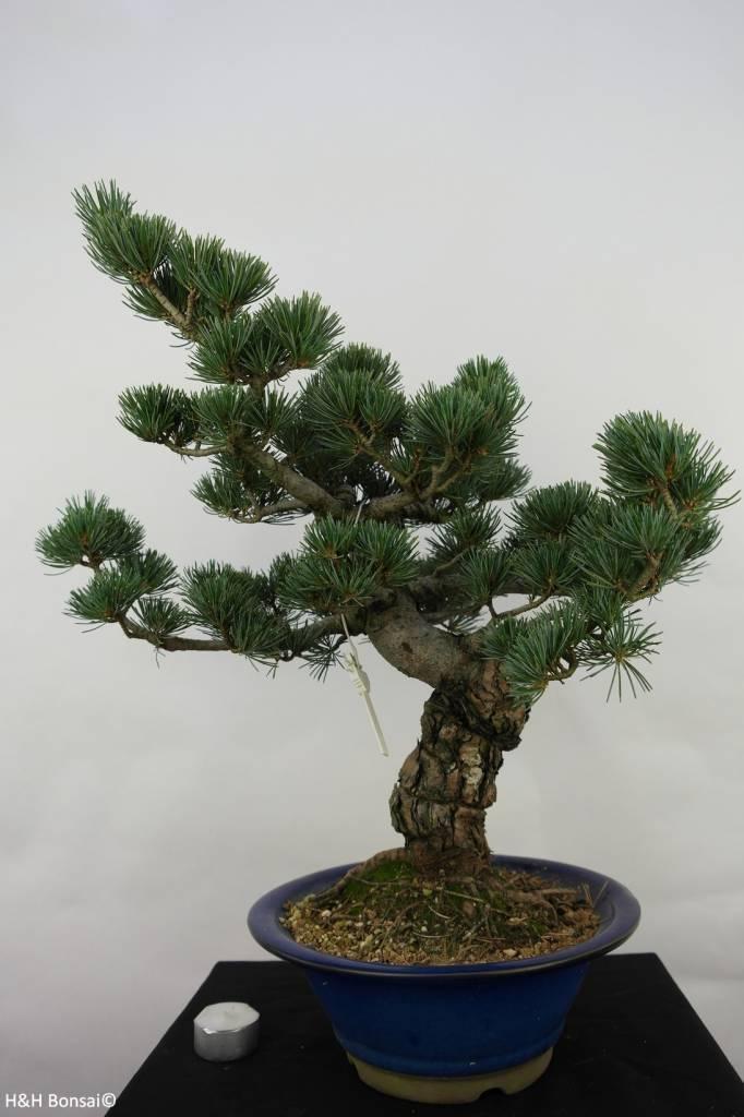 Bonsai Pinus pentaphylla, Japanse witte den, nr. 7068