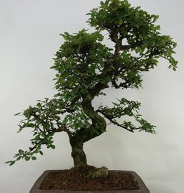 Bonsai Orme de Chine, Ulmus, no. 7069