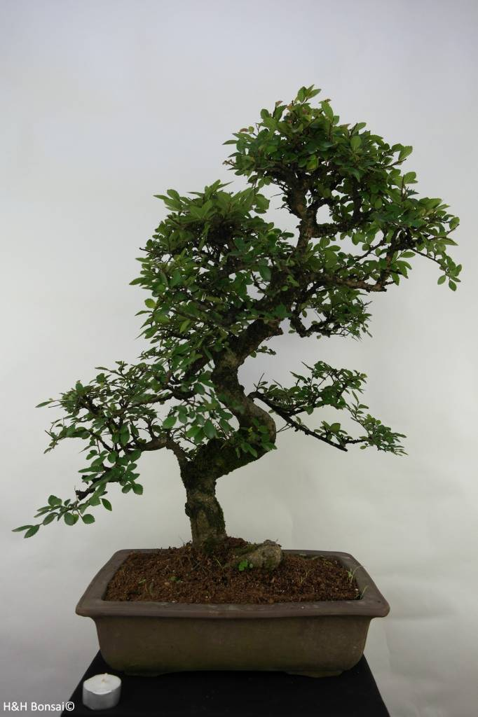 Bonsai Orme de Chine, Ulmus, no. 7069