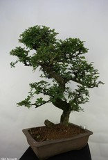 Bonsai Ulmus, Chinese Iep, nr. 7069